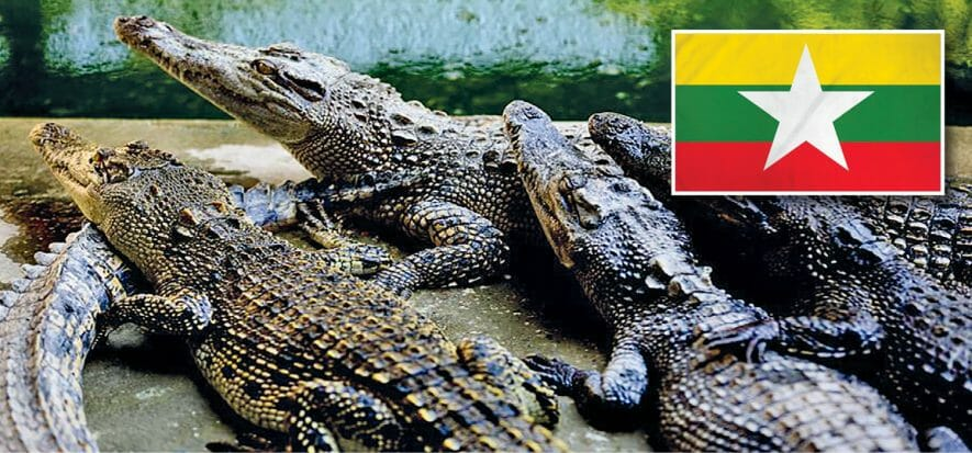 Myanmar, a commercial plan to save the crocodiles